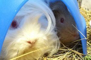 guinea pig, guinea pigs