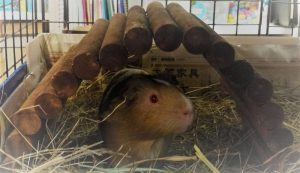 guinea pig cages, guinea pig toys, guinea pig accessories