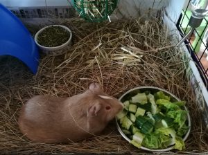 guinea pig care, easiest pets to take care of