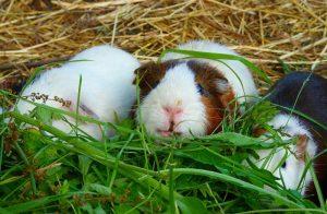 guinea pig care, guinea pig diet