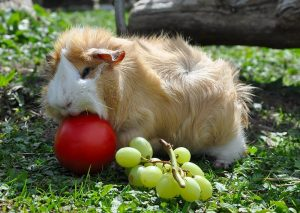 guinea pig care, what can guinea pigs eat