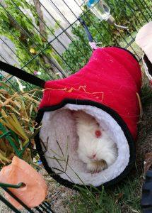 outdoor guinea pig enclosure, guinea pig hidey houses tunnel
