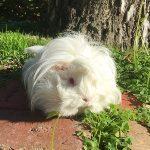 Best Guinea Pig Diet
