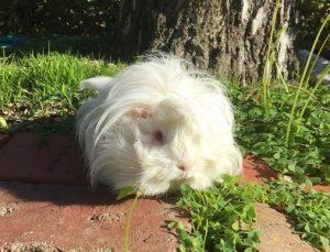 best guinea pig diet, fresh grass hay, oaten hay, timothy hay