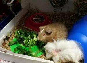 best guinea pig diet, safe guinea pig foods