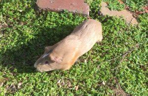 guinea pig diet, fresh grass hay, natural guinea pig feed