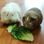 Caring for Guinea Pig Welfare – Five Key Things Guinea Pigs Need for a Happy and Healthy Life