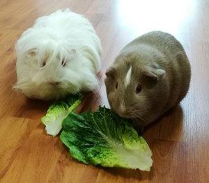 guinea pig diet, guinea pig safe foods