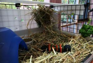 guinea pig cage, guinea pig diet feeding kitchen