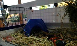 guinea pig food, guinea pig kitchen, guinea pig diet