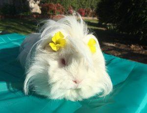 guinea pig outdoor enclosure, guinea pig hay grass diet