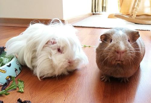 best pets guinea pigs healthy diet