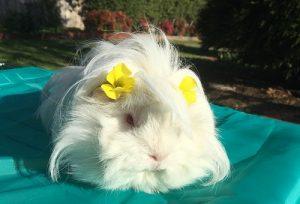 cute guine pig pet guinea pig fresh grass diet