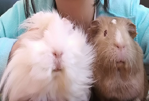 cute guinea pig pets