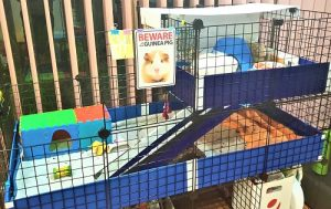 guinea dad bedding cage