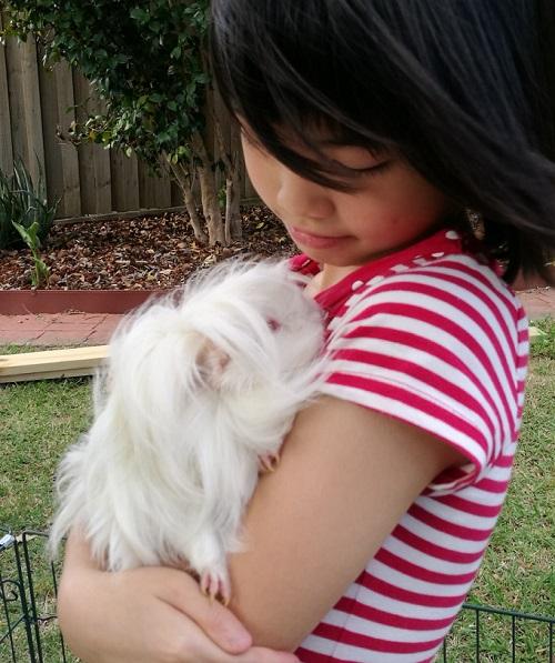 guinea pig bonding