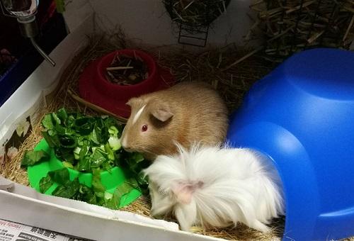 guinea pig kitchen leafy greens diet