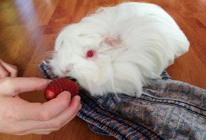 hand feed guinea pig strawberry