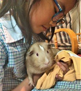 handling guinea pigs