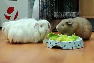 healthy guinea pig diet cos lettuce